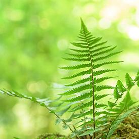 Der Farn, die Flügel der Wälder