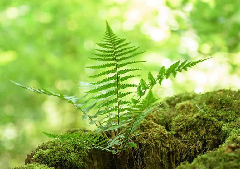 Farn auf einem Baumstumpf